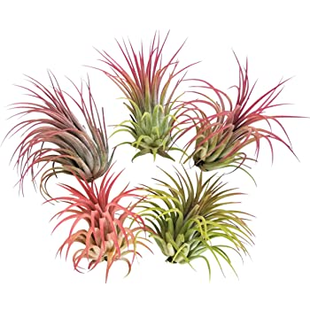 tropical home decor items amazon com 5 large air plants tillandsia ionantha variety live  air plants tillandsia ionantha variety