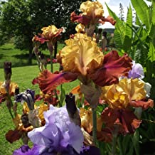 12 Supreme Bearded Iris Mixed, Roots, Bulbs,Incredible Reblooming Irises Nice Addition to Any Garden