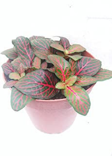 Hirts: House Plants Red Veined Nerve Plant