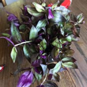 Red Wandering Jew 6 Pot Combo Deal of Two Plants