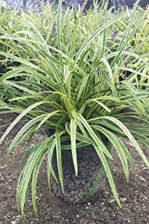 Liriope Variegated Grass (Ground Cover, Ornamental, Grass), 18 Pack (3.25in Pot, Live Plant)