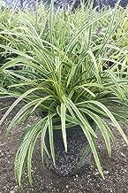 variegated liriope seeds