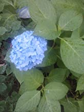 (2 Gallon) Dooley Hydrangea Macrophylla, Mop Head Beauty, Blue Blooms-can Take Sun, NAMED AFTER COACH VINCE DOOLEY