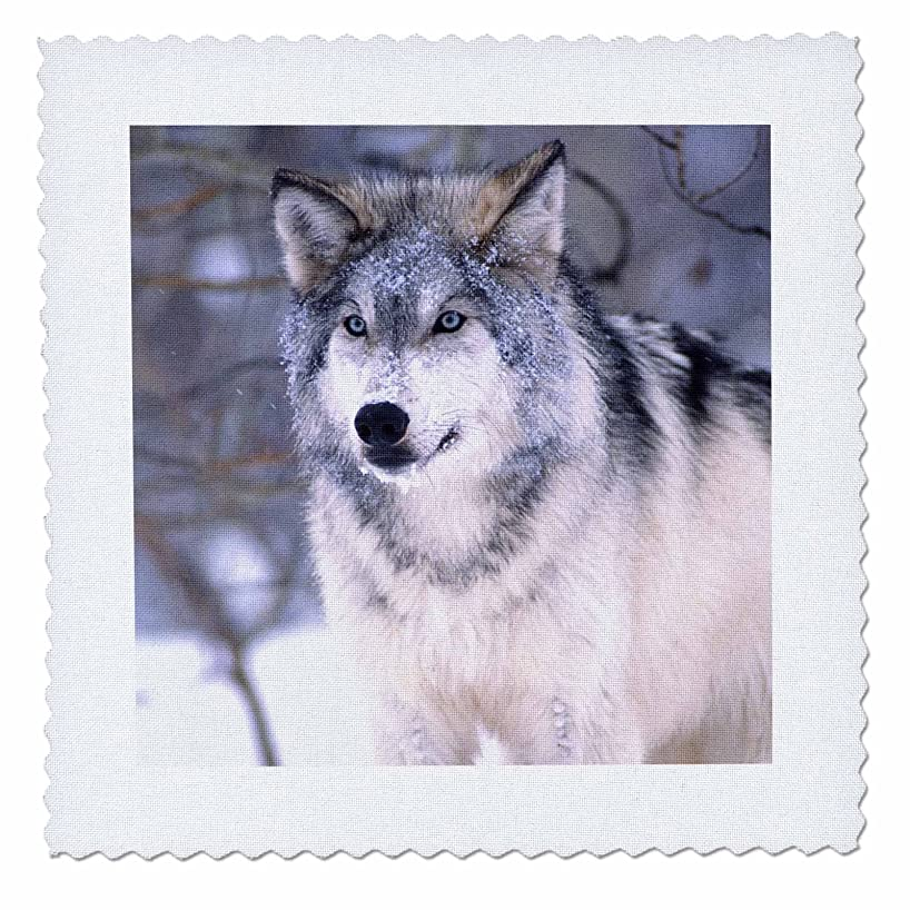 3dRose Timber Wolf, Canis Lupus - Na02 Dno0319 - David Northcott - Quilt Square, 10 by 10-Inch (qs_83899_1)