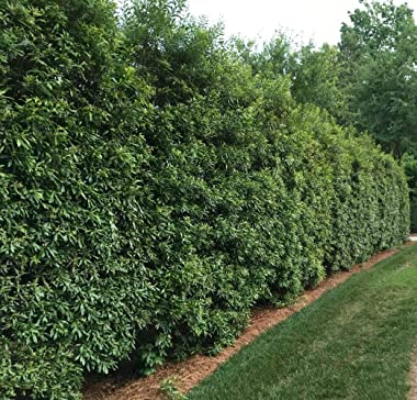 Wax Myrtle - 10 Live Plants - Myrica Cerifera Bayberry - Aromatic Evergreen Screening Hedge