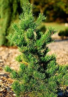 Arakawa Japanese Cork Bark Pine 2 - Year Graft