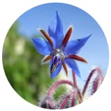 Benefits Of Borage