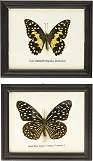 Insectfarm Framed Very Rare Real Dark Blue Tiger Butterfly Gift Display Insect Taxidermy