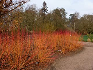 arctic fire dogwood for sale