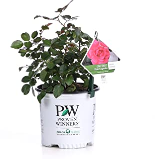 Oso Easy Pink Cupcake Landscape Rose (Rosa) Live Shrub, Pink Flowers, 1 Gallon
