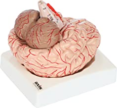 Axis Scientific Deluxe 8-Part Human Brain Model with Arteries   Shows Major Lobes and 41 Anatomical Features of the Human Brain   Includes Base and Detailed Full Color Product Manual   3 Year Warranty