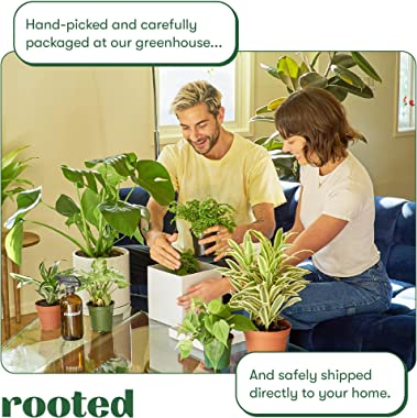 Rooted Fiddle Leaf Fig Plant - Ficus Lyrata | Live, Popular and Beautiful Houseplant (6-inch Pot)