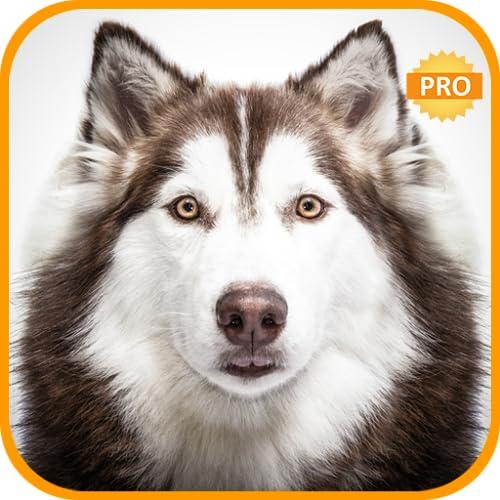 Siberian Husky Wallpapers:Dog backgrounds hd