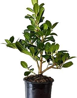 Sandys Nursery Online Ilex Evergreen Shrub, Nellie R Stevens Holly Dark Green Leaves, Quart Pot