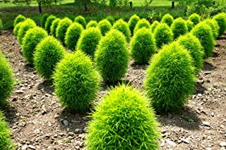 Rare Kochia Scoparia Organic Seeds Exotic Grass Bassia scoparia Burning Bush Summer Cypress Around 250 Seeds