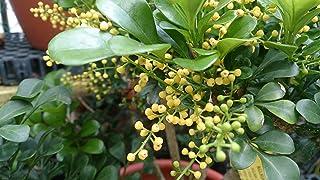 BUY 3 GET 2 FREE Mix-Color Orchid Aglaia Odorata 100 Pcs Seeds Elegant
