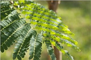 Best sandalwood bonsai tree Reviews