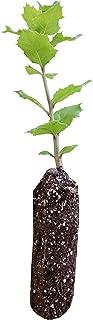 Best live oak tree california Reviews