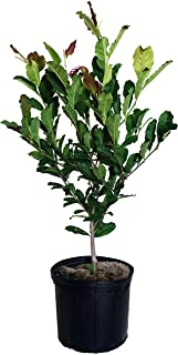 Magnolia X loeb. 'Leonard Messel' (Magnolia) Tree, lavender-pink flowers, #3 - Size Container