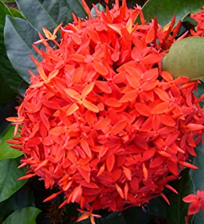 Super King Tropical Ixora Live Plant Flowering Shrub Large Clusters of Brilliant Red Flowers Starter Size 4 Inch Pot Emerald Goddess Gardens