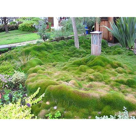 Amazon Com Zoysia Grass Seeds Zoysia Tenuifolia No Mow Lawn 1 8 Lb Garden Outdoor