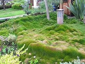 Zoysia grass seeds - Zoysia Tenuifolia - No Mow Lawn -1/8 lb …