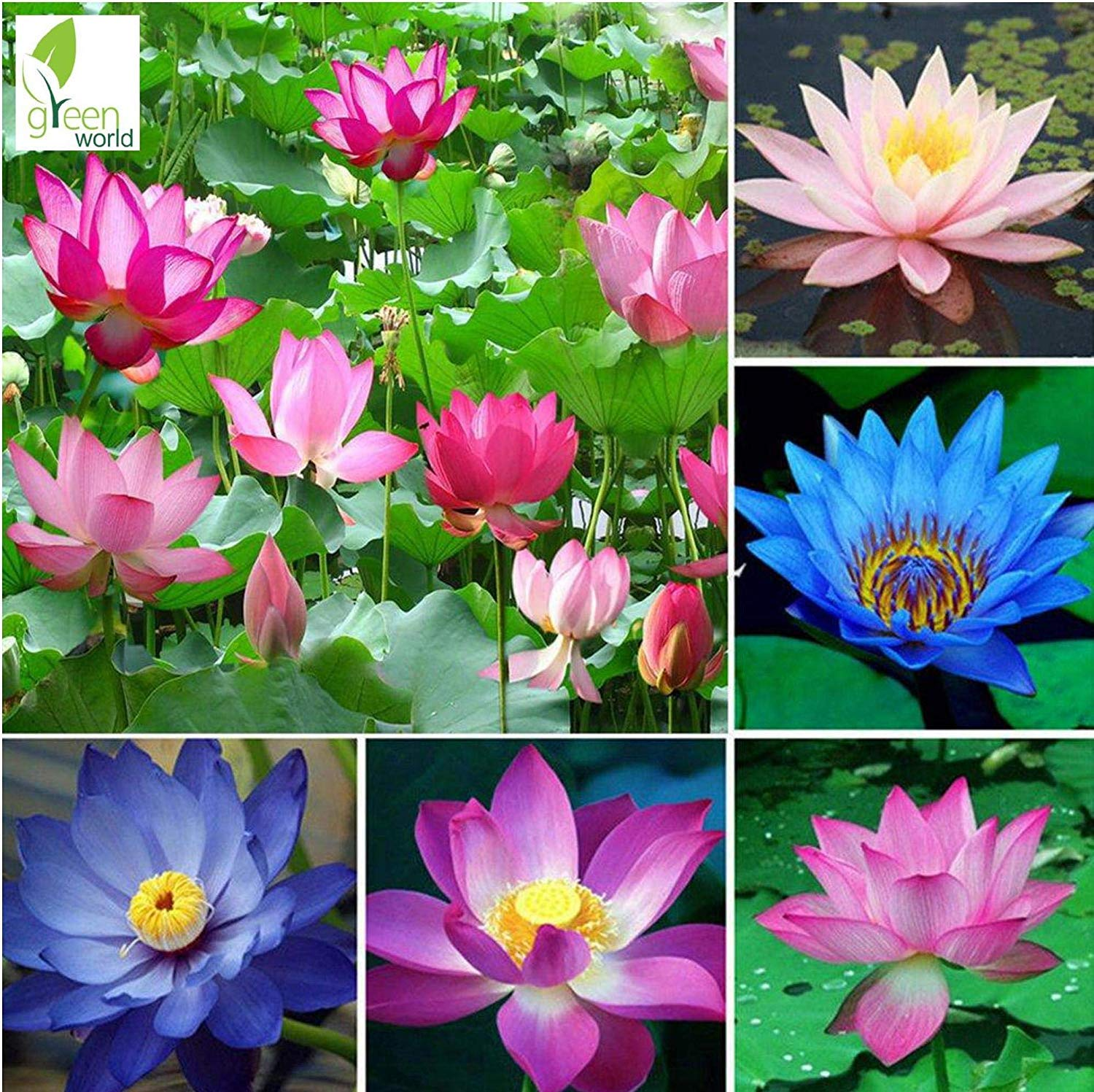 Green World Lotus Kamal Flower Mixed Colour Seeds 10 Seeds Amazon In Garden Outdoors