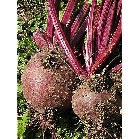 Gemüse 75 Samen Organisches Rote Bete Bolivar