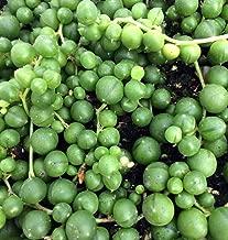 Hirt's Gardens String of Pearls - Senecio - Easy to Grow - 4