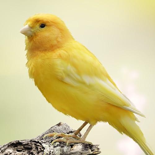 Canary Bird Sounds