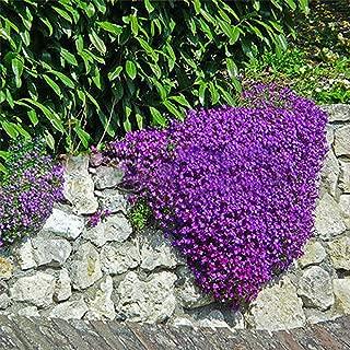 Lots 220pcs Cascade Purple Aubrieta Flower Seeds Perennial Ground Cover Romantic