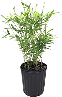 short bamboo hedge