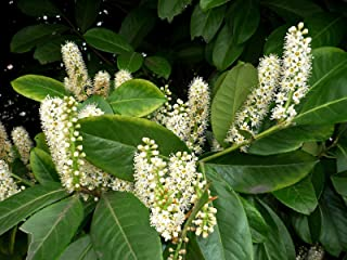 HOT - Cherry Laurel - 12 Seeds - Prunus laurocerasus - Bonsai - Shrub