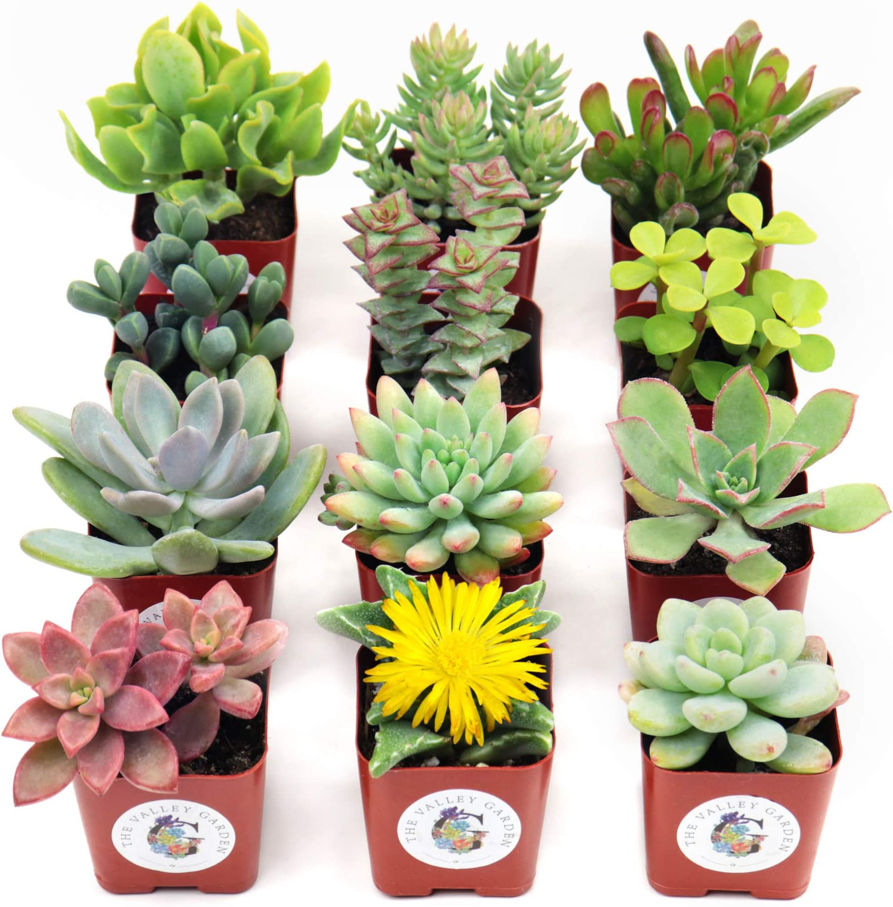 Succulents 12 Assorted potted 2.5 rooted succulents plants Premium Quality