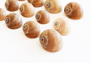 "24 Select Whales Eye Moon Shells Seashells (1-1.5"") Beach Crafts Hermit Crabs - Florida Shells and Gifts Guaranteed"