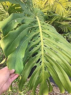"Plant ! Monstera DELICIOSA PHILODENDRON, 14+""Tall 3+Leaves (Premium Quality)"