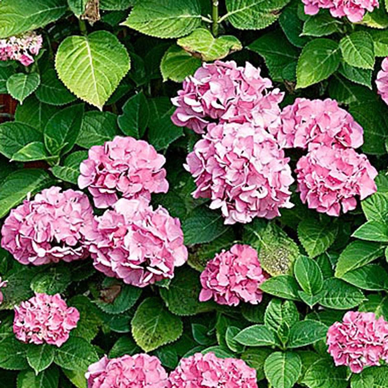 Hydrangea macrophylla ROSITA Vaso /Ø 14cm Hydrangea Altezza 25-30cm Pianta perenne Fiori rosa
