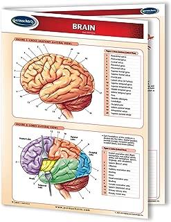 Brain - Human Brain Chart- 8.5