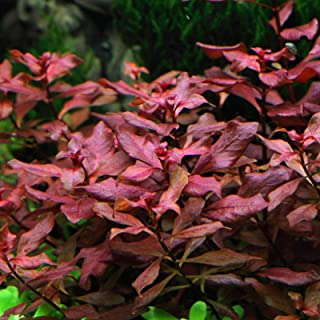 Ludwigia sp. Mini 'Super Red' Bunch Live Aquarium Plants Repens