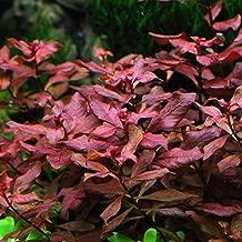 Ludwigia sp. Mini 'Super Red' Bunch Live Aquarium Plants Repens BUY2GET1FREE
