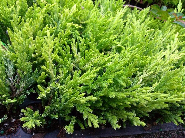ドリルローブ商人JUNIPER - ライムGLOW - 2つの植物 - 2