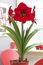 Bloomsz Red Lion Garden Amaryllis Bulbs Plant (12 Pack)