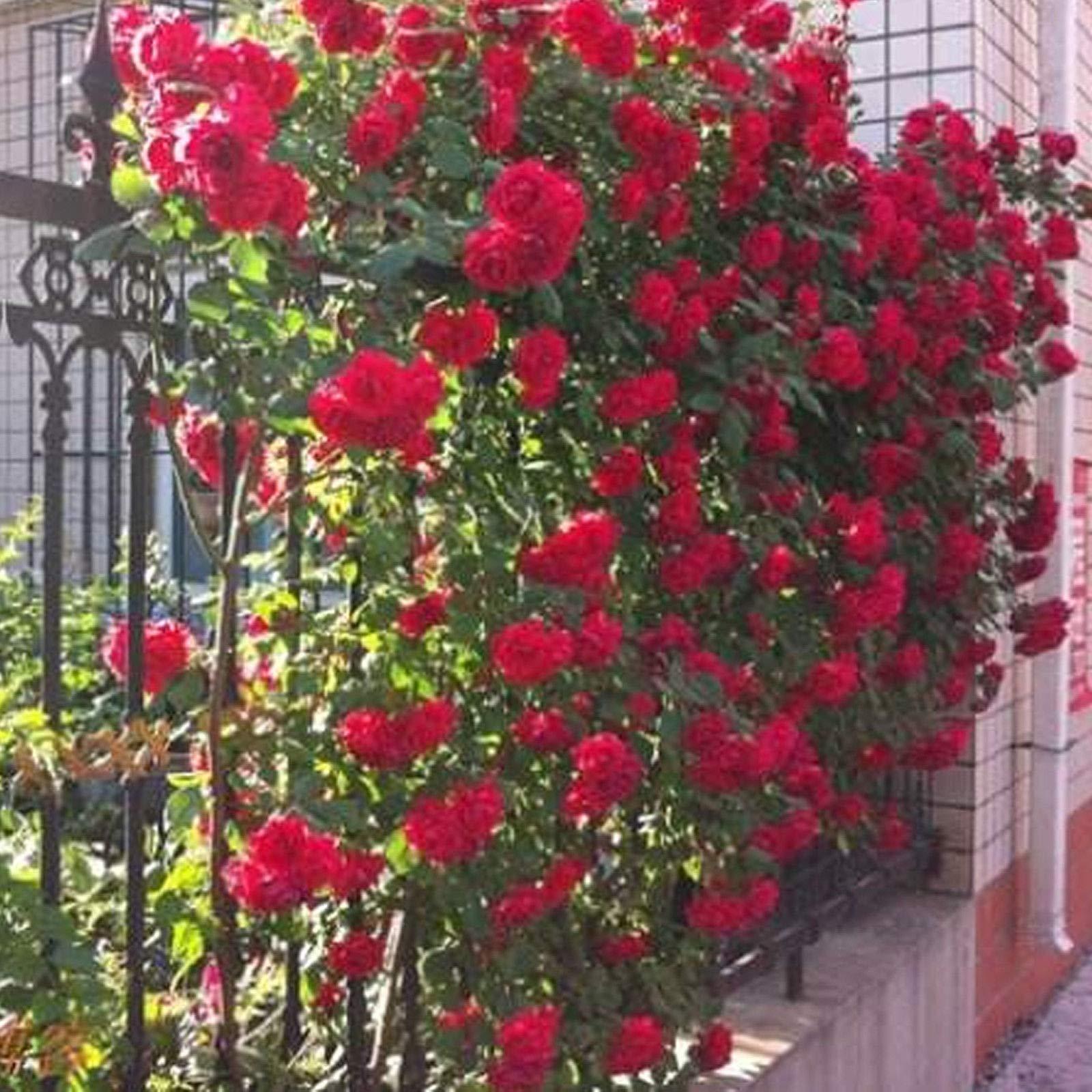 Go Garden Blanca: 100 piezas rosales trepadores Semillas plantas perennes fragante jardÃn de flores Multiflora: Amazon.es: Jardín
