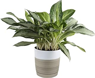 Costa Farms Chinese Evergreen Aglaonema, Indoor Plant in in Décor Planter, 30-Inches Tall, White-Natural