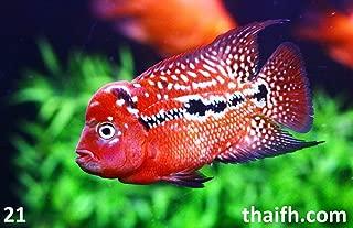Best sale flowerhorn fish Reviews