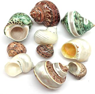 PEPPERLONELY 10PC Polished Mixed Turbo Sea Shells, Shell Size 1-1/2 Inch ~ 3 Inch