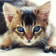Guess The Kitten Breed - Trivia Game