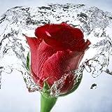 Flower Wallpaper, Floral, Rose Background: Rosely