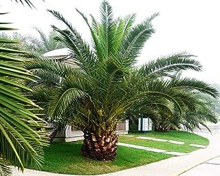 Phoenix canariensis Ornamental Tree or Bonsai Pineapple Palm 10 Seeds #GS04