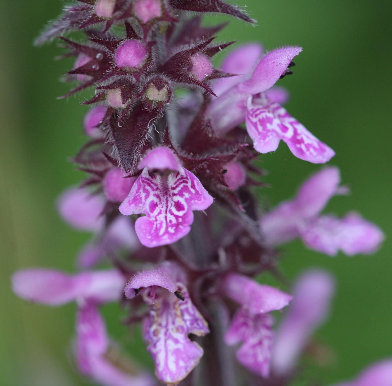 Lincolnshire Pond Plants Dragonflies & damselflies Marginal 8 Pack Potted
